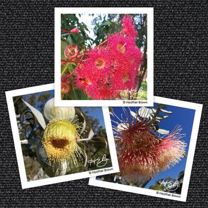 Eucalyptus Magnets
