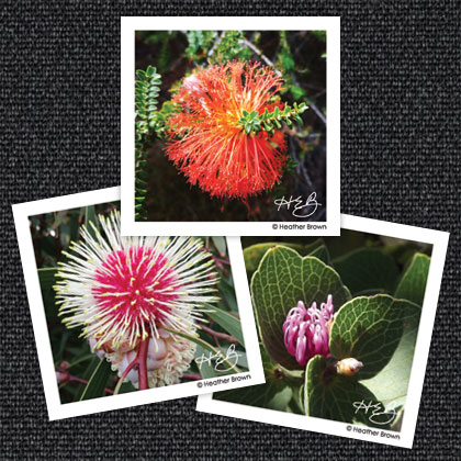 Bottlebrush & Hakea Magnets