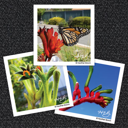 Kangaroo Paw Magnets