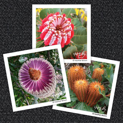 Banksia Magnets