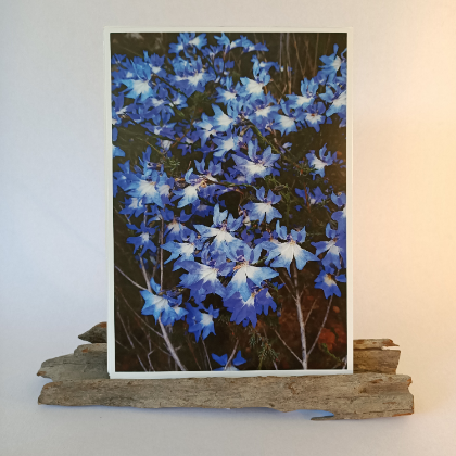 Leschenaultia Prints
